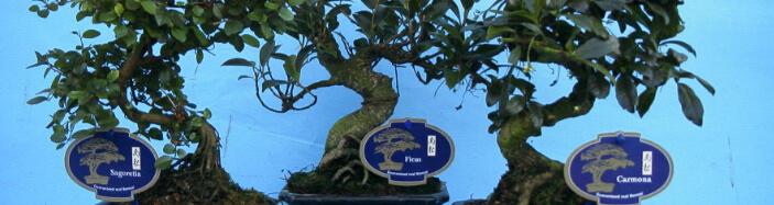 Bonsai Carmona or Ficus Ginseng or Ligustrum