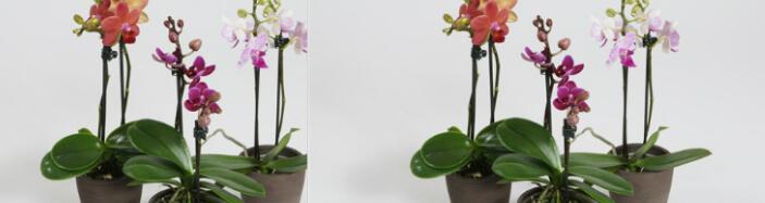 Ορχιδέα Phalaenopsis mini (υβρίδιο) σε γυάλινο βάζο ή ποτ!!!