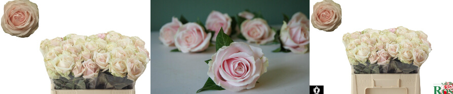 Pink Roses (40) stems.Super Week Offer