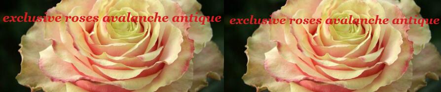 """Τριαντάφυλλα (31) τεμ. """"Avalanche Antique"""""""