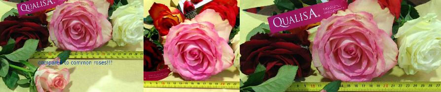 Ecuador Roses Offer