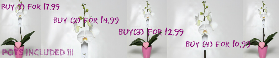 Orchids Phalaenopsis  Offer
