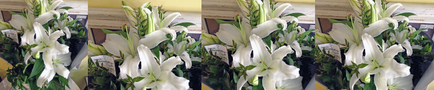 Oriental Lillies Offer