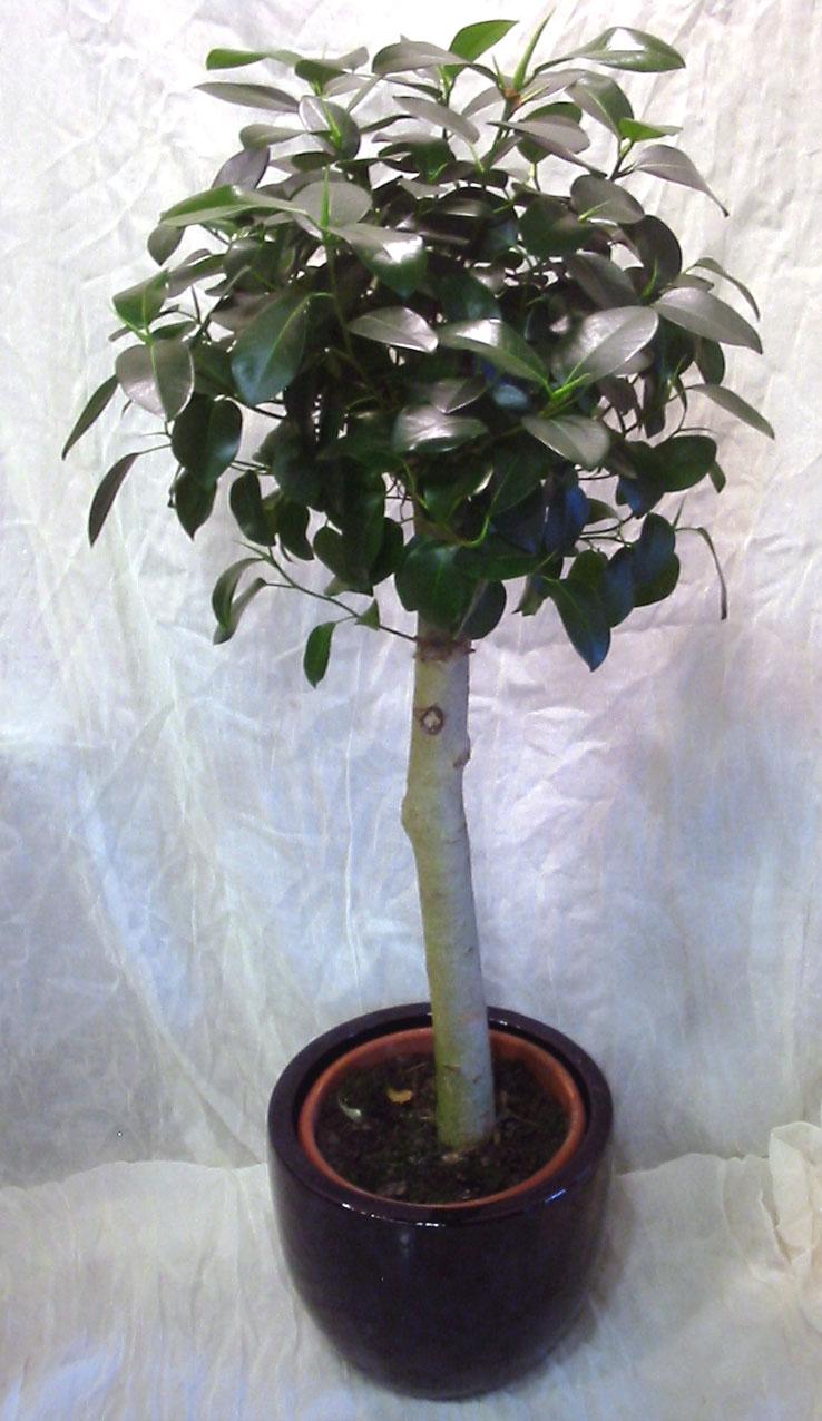 Plant Ficus Australis Appr Height 1 60m In Fine Ceramic