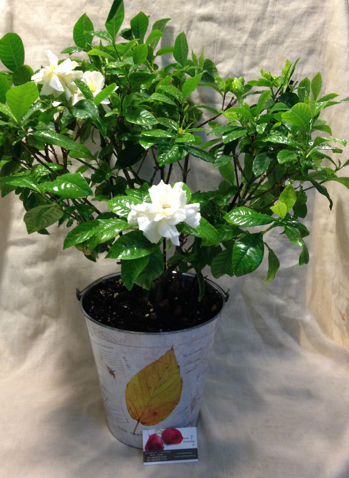 Gardenia In Zink Decorative Pot