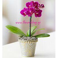 Ορχιδέα Phalaenopsis mini (υβρίδιο). Βασικό.