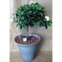 Gardenia plant on stem. Ball Shape. Height appr. 0,80m. (Planted in quality pot)