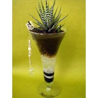 Plant haworthia in glass vase
