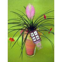 Φυτό tillandsia σε γυάλινο βάζο