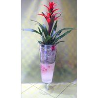 Plant guzmania in glass vase