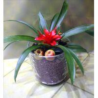 Φυτό μίνορ σε γυάλινο βάζο