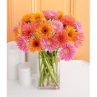 (10) Germini - Gerberas Bouquet + Vase