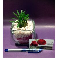 Ananas Cactus  Plant In Glass With Decorative Sand Layers.