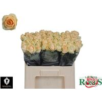 Pink Roses (21) stems Sweet or Peach Avalanche Dutch with Greens.
