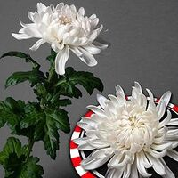 Chrysanthemums Single Heads Exclusive Antonov