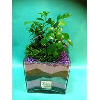 Φυτά Ficus Ginseng & Rhipsalis  σε γυάλινο βάζο !!!