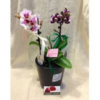 "Phalaenopsis Orchid Kolibri plant in ceramic pot with decoration. Special variety ""Dwarf"""
