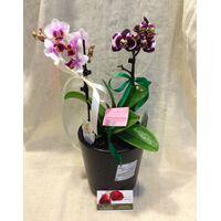 """Ορχιδέα Φαλαίνοψις Kolibri  (2) Φυτά  σε κεραμικό ποτ με διακόσμηση. Ορχιδέα """"Νάνος"""""""