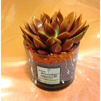 Φυτά Echeveria  σε γυάλινο βάζο