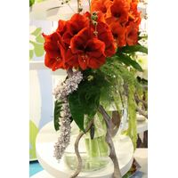 Amaryllis  in  vase! Exclusive!!!