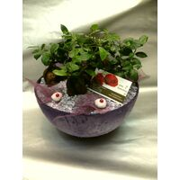 Plants ficus ginseng arrangement in artstone pot