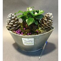 Ficus Ginseng Plant in Zink Pot  & Decoration