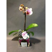 "Phalaenopsis Orchid Kolibri plant in glass with decoration. Special variety ""Dwarf"""