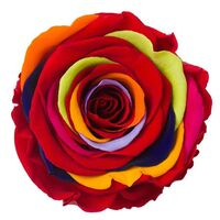 Rainbow Rose Big Head (preserved) In Arrangement with decoration.