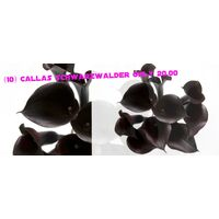 "Callas Schwarzwalder ""The True Black"" (10) stems only 20,00€ !!!"