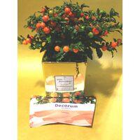 Φυτό Solanum σε κεραμικό  Ποτ & Χριστουγεννιάτικη διακόσμηση