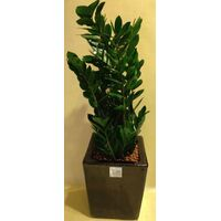 Plant Zamioculcas  height appr. 1.20m .in extra quality ceramic pot.