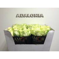 (20) white 90cm!!! roses Extra Quality Adalonia!!!