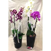 Phalaenopsis .Twin Extra Quality Pots with (2) plants in each one (total (4) plants). Very Exclusive.