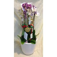 Orchids in Ceramic Pot  & Decoration