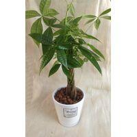 Plant  Pahira +  Pot