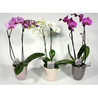 Phalaenopsis Plant (2) spikes of flowers + Pot 20,00€ !!!