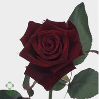 Roses Natural Black Baccara (21) stems. Very Exclusive. Gift Wrapped or Bouquet.