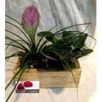 Φυτό Saint Paulia & Tillandsia σε Ξύλινο Ποτ