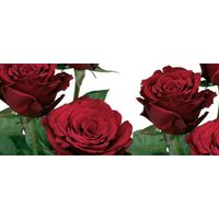 Red roses  A Quality Dutch . Super Week  Offer