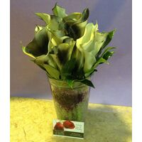 Callas in Glass with decorative colored gel !!!