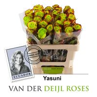Exclusive Yasuni  Roses