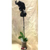 Phalaenopsis Black Dyed In Vase.