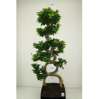 Bonsai plant (big size) height appr. 1.40m. in ceramic pot !! 8 Shape!!!!
