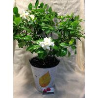 Gardenia in Zink Decorative Pot