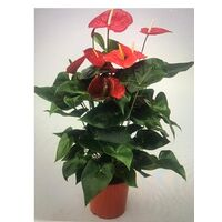 Anthurium Plant in quality pot or basket !!! Height appr +1.00m.