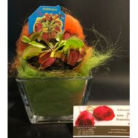 Plant Dionaea Muscipula in glass vase with Decoration !!!