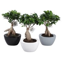 "Φυτό μπονσάι  ""Ginseng Ficus microcarpa""  Potsize 19cm Height 40cm !! Exclusive !!!!"" .Νέο, Ιδιαίτερο !!!"