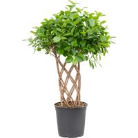 Φυτό Ficus Moclame Shaped Stem !!! . Ύψος περ. 110cm.