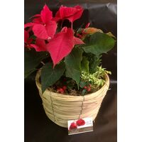 Christmas Plants in basket - (3) Plants & Decoration !!! (Random varieties & colors)