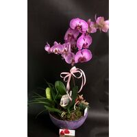 "Orchid phalaenopsis plant ""(2)flower spikes"" + Tillandsia and decoration"
